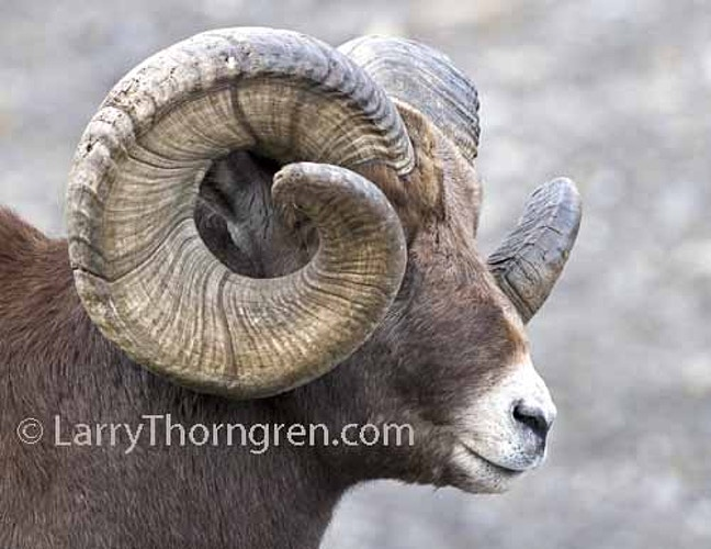 Biggest Of The Bighorns - Larry Thorngren Wildlife Photography