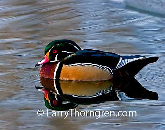 Wood Ducks - Larry Thorngren Wildlife Photography