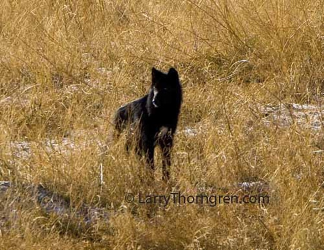 Wolves And Bighorns On The Mountain - Larry Thorngren Wildlife Photography