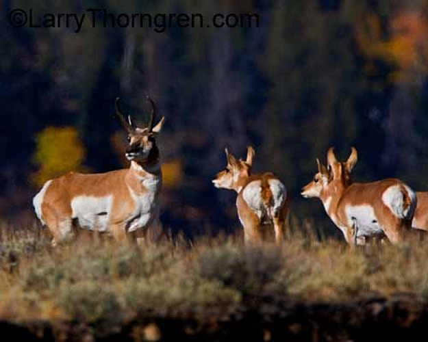 Pronghorns - Larry Thorngren Wildlife Photography