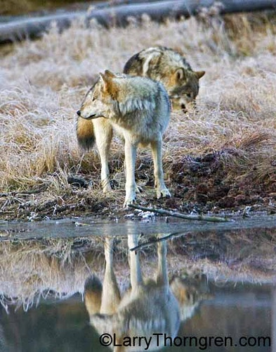 Wolf Reflections - Larry Thorngren Wildlife Photography