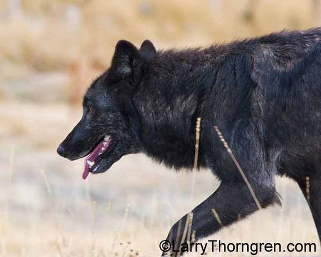 Canyon Pack Wolves - Larry Thorngren Wildlife Photography