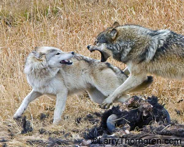 To The Victor The Spoils - Larry Thorngren Wildlife Photography