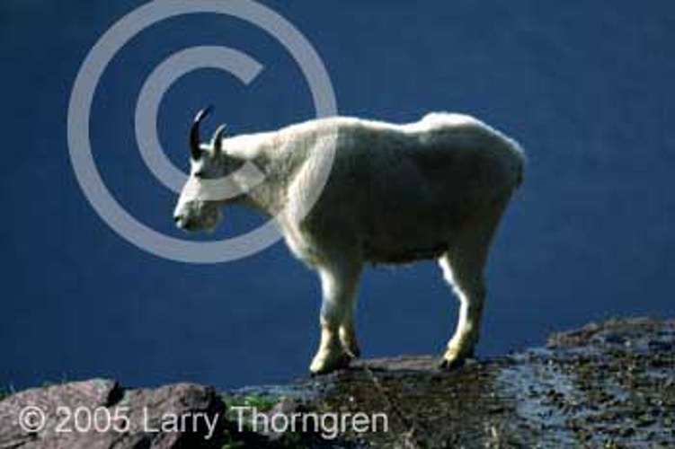 Mountain Goats - Larry Thorngren Wildlife Photography