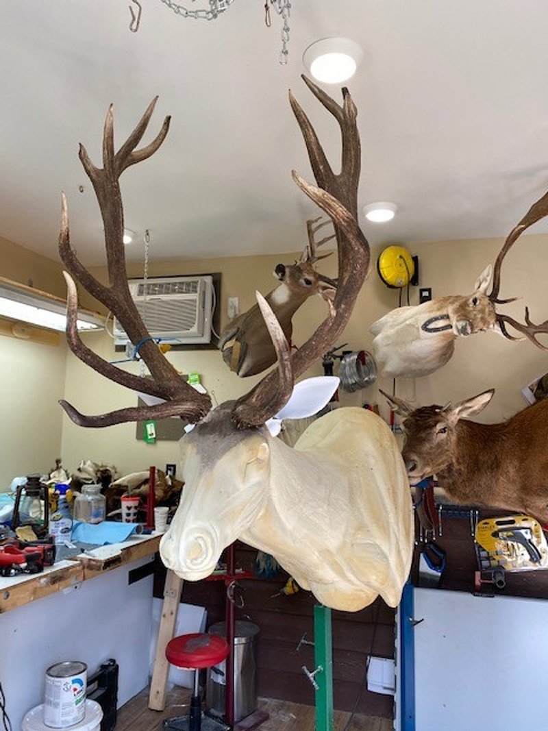 Elk - Lone Wolf Taxidermy
