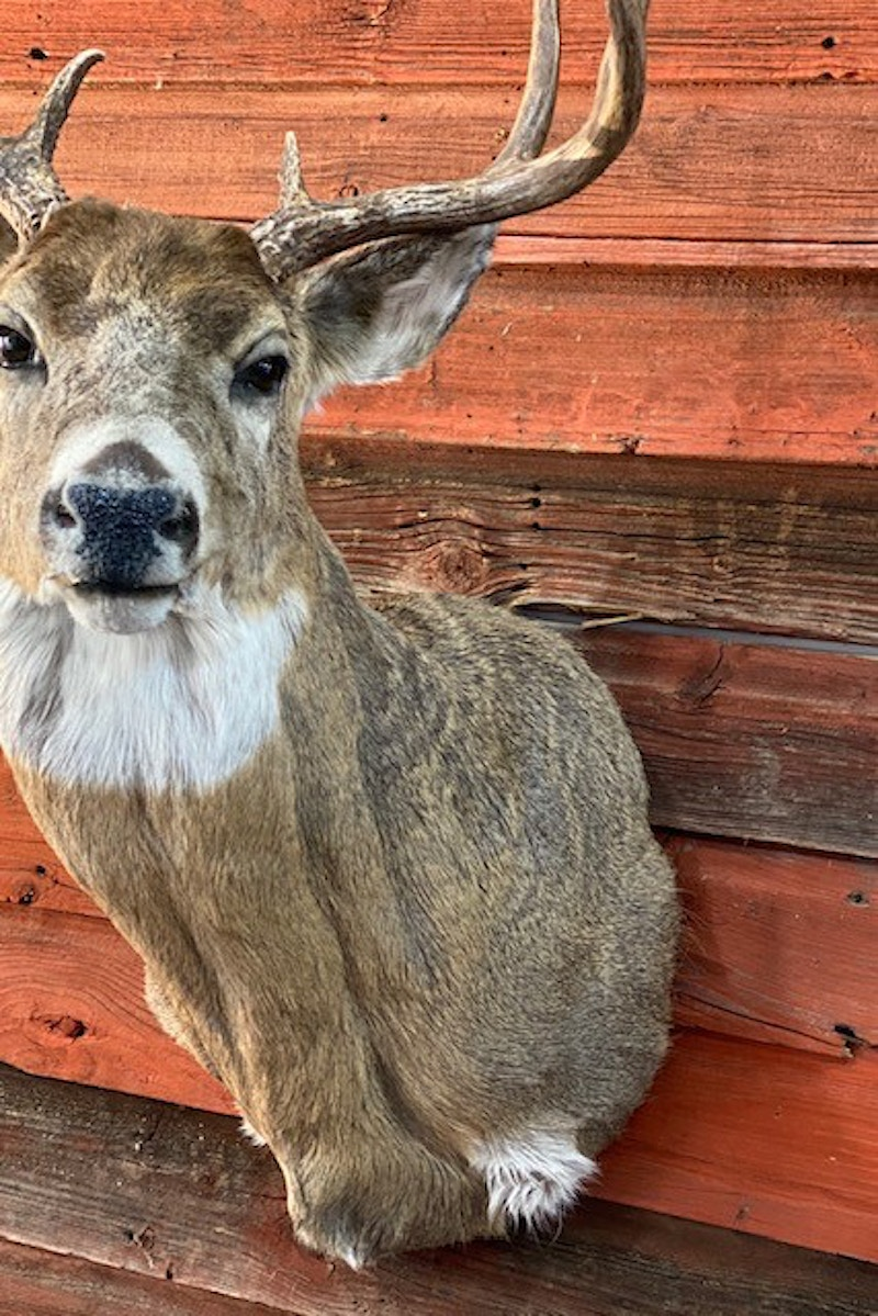 Whitetail - Lone Wolf Taxidermy