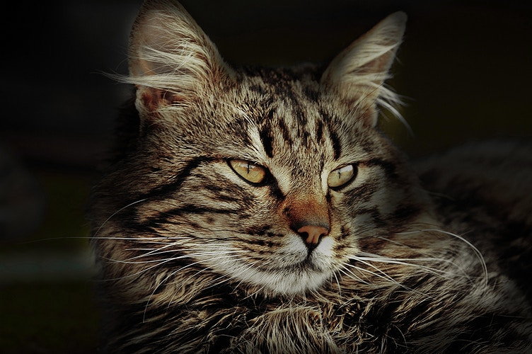 The Look of the Cat - Photography by Milos Markovic