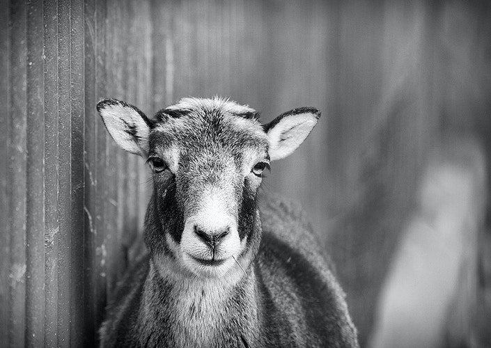 Musk sheep - Photography by Milos Markovic