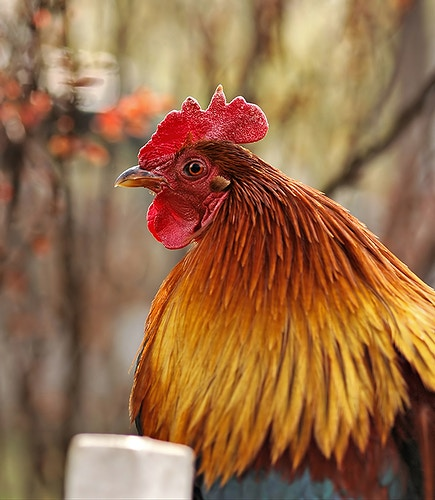 Rooster - Photography by Milos Markovic