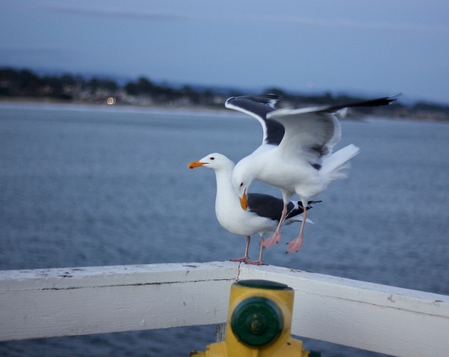 Landing Seagull - Northbound Photography