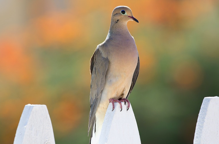 Mourning Dove - PJ205