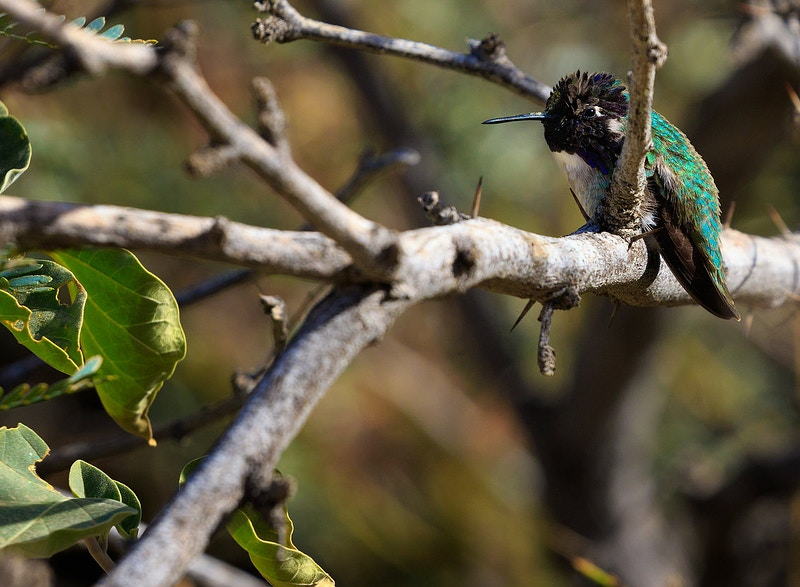 Black-Chinned Hummingbird - PJ205