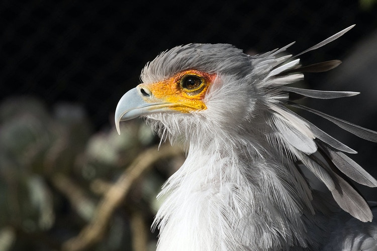 Secretary Bird - PJ205
