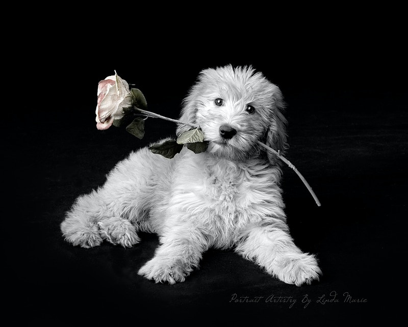 Pets - Portrait Artistry by Linda Marie   Newborn, Children & Family Photography