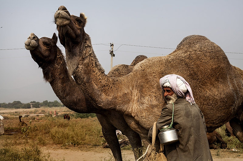 Camels For Sale - Serena De Sanctis