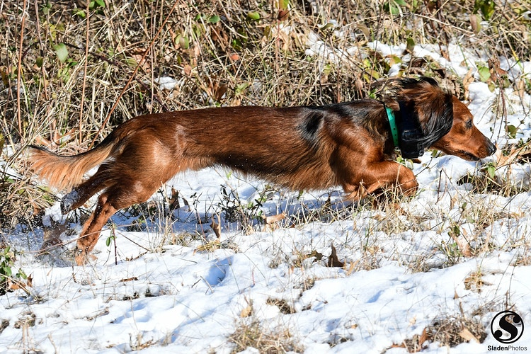 Dachshunds - Sladen Photos