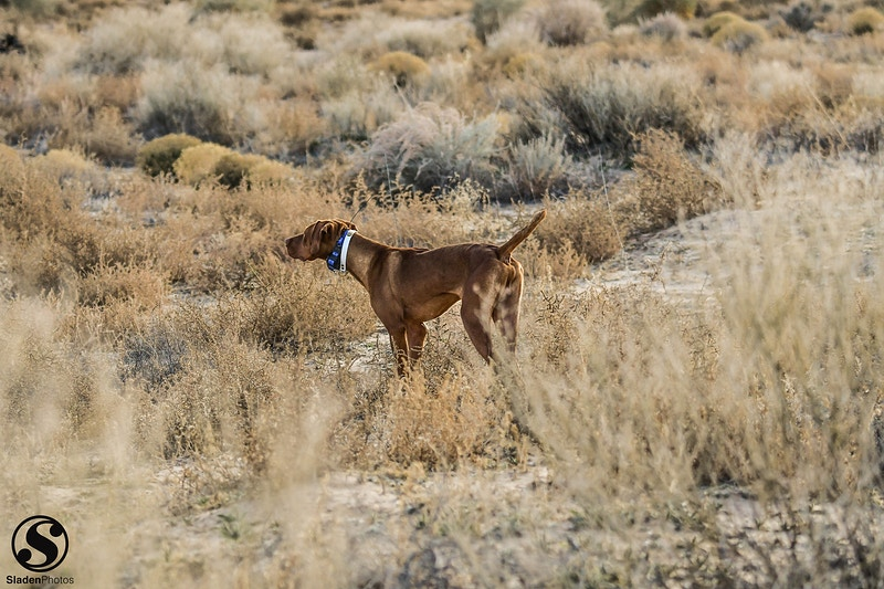 Bird Dogs - Sladen Photos