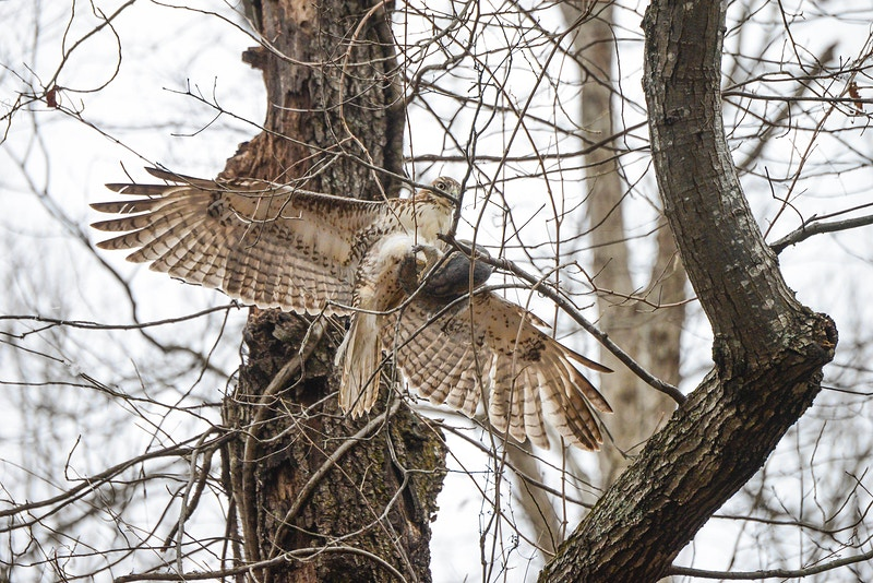 Red Tailed Hawks - Sladen Photos