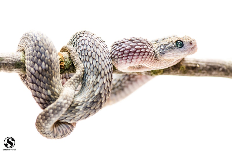 Snakes - Sladen Photos
