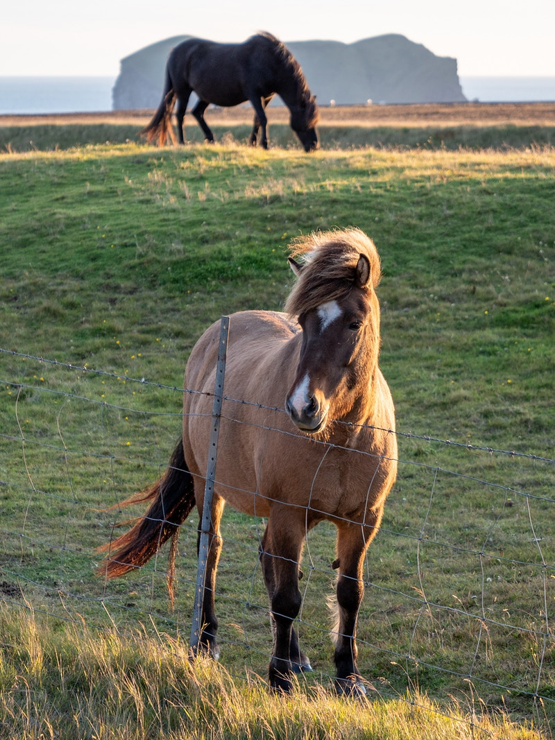 Icelandic Horse - William Porter